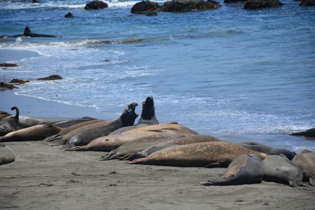 Zdjęcia: Wybrzeże przy HW 1, Kalifornia, Słonie morskie , USA