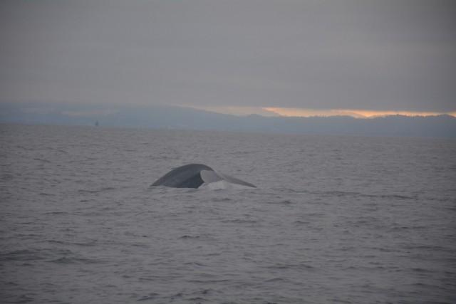 Zdjęcia: Zatoka Monterey, Kalifornia, Polowanie na wieloryby, USA