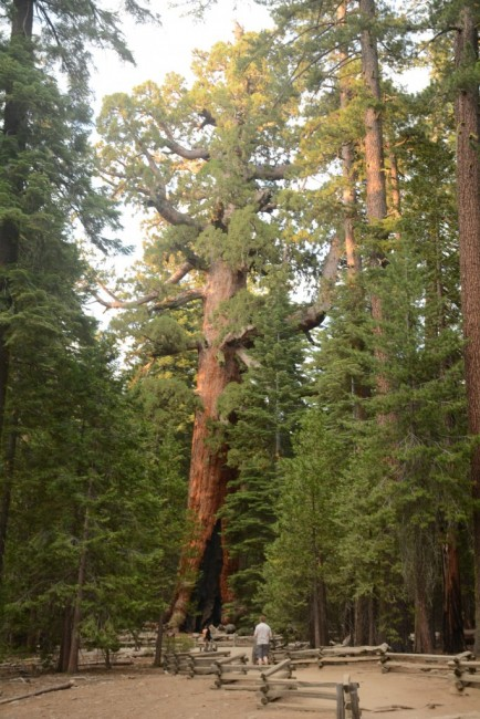 Zdjęcia:  Yosemite National Park., Kalifornia, Grizzly Giant, USA