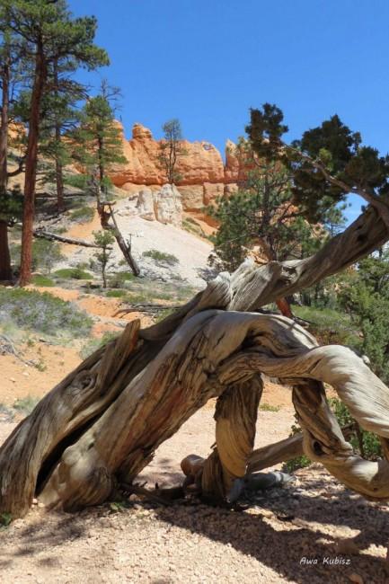 Zdjęcia: Park narodowy Bryce Canyon, Utah, Ale mnie poskręcało!, USA