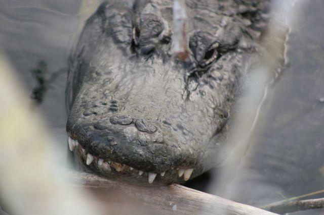 Zdj�cia: Everglades National Park, Floryda, aligator, USA