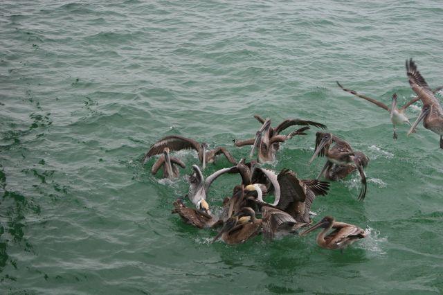 Zdjęcia: Naples, Floryda, Pora karmienia pelikanów, USA