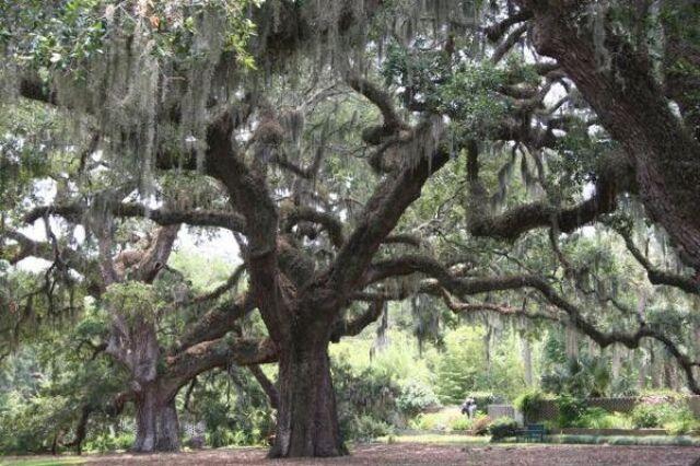 Zdjęcia: Brookgreen Garden, Południowa Karolina, drzewo, USA