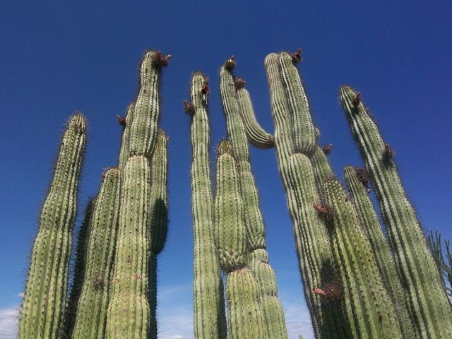 Zdjęcia: Arizona, kaktusy organ pipe, USA
