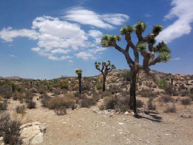 Zdjęcia: Kalifornia, drzewka Jozuego 1, USA