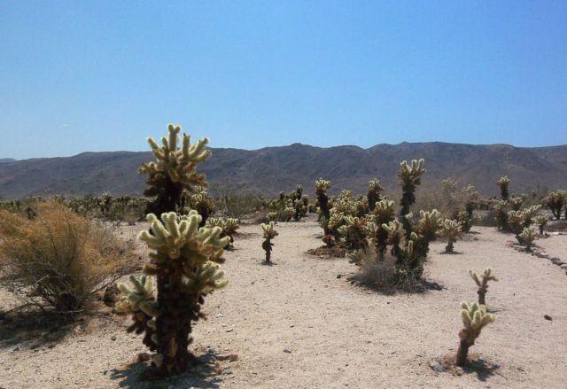Zdjęcia: Kalifornia, kaktusy zwane teddy bear 1, USA