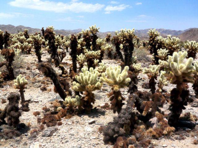 Zdjęcia: Kalifornia, kaktusy zwane teddy bear 2, USA