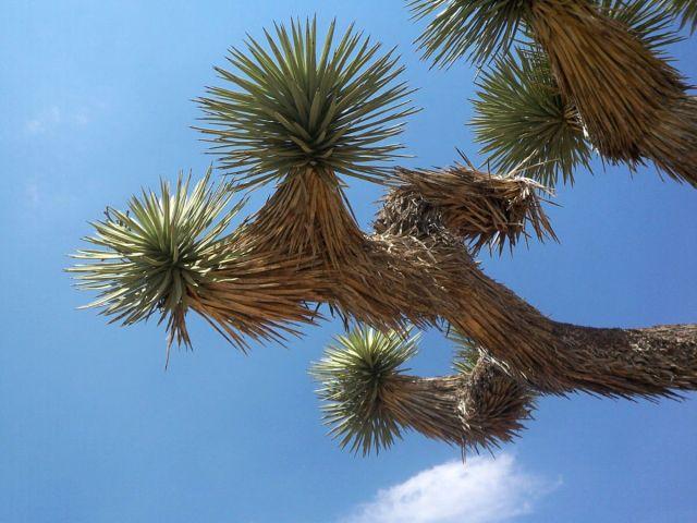 Zdjęcia: Kalifornia, drzewko Jozuego, USA
