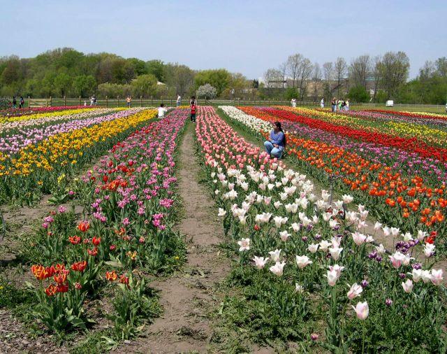 Zdjęcia: Michigan, pole tulipanow w holenderskim skansenie, USA