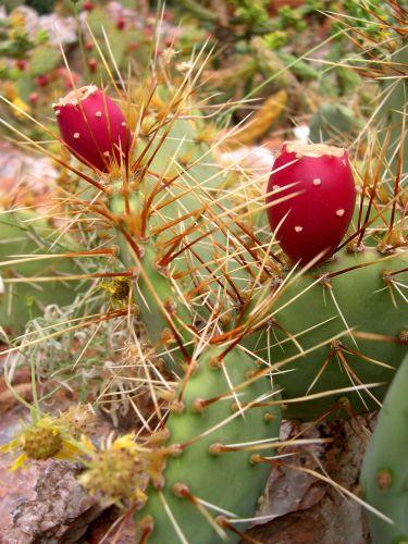 Zdjęcia: Arizona, pustynny kaktusik, USA