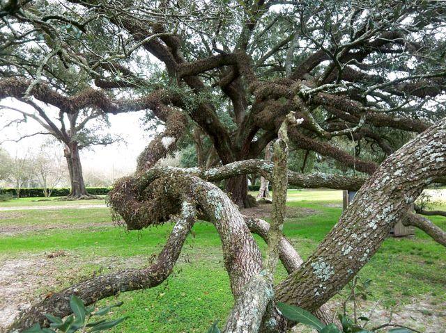 Zdjęcia: Luizjana, dab na plantacji Oak Alley, USA