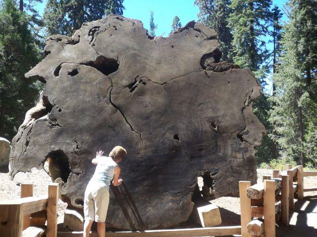Zdjęcia: Kalifornia, przekroj Sekwoi - policz sloje :), USA
