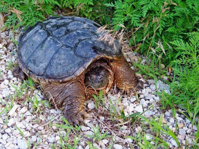 Zdj�cia: Missouri, zolw snapping turtle, USA