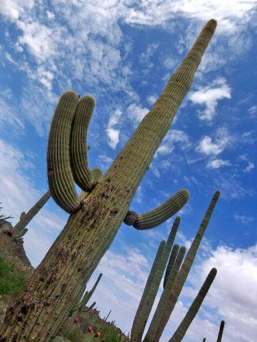 Zdj�cia: Arizona, krol kaktusow - Saguaro Cactus, USA