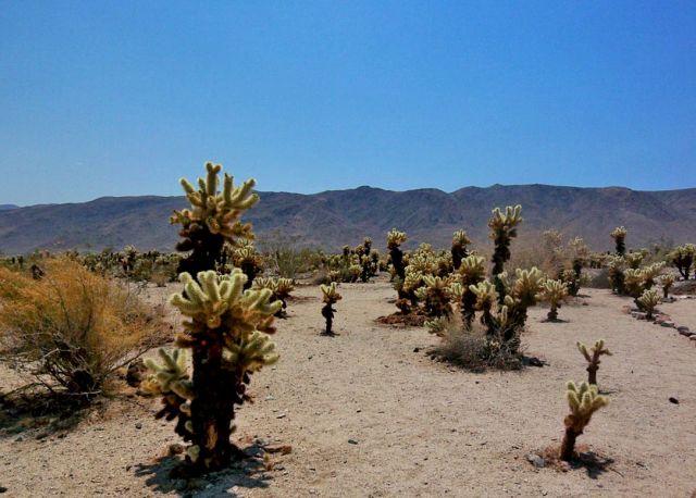 Zdj�cia: Kalifornia, kaktusy  Teddy Bear na pustyni Mojave, USA