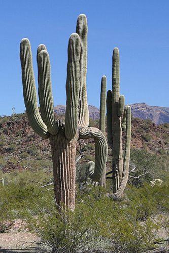 Zdjęcia: Organ Pipe Cactus National Monument, Arizona, **, USA