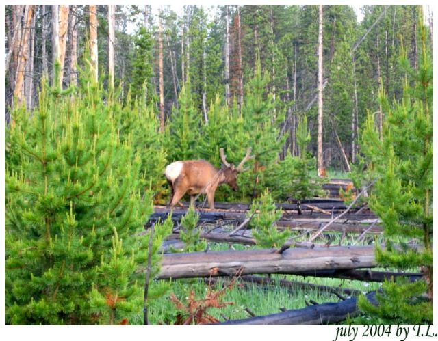 Zdjęcia: Yellowstone NP, Wapiti w Yellowstone NP (2), USA
