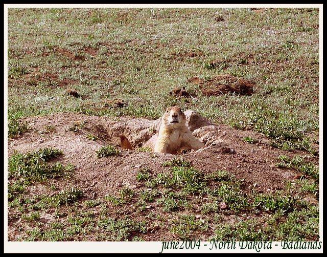 Zdjęcia: N.P., Dakota Polnocna, Badlands - Park Narodowy - North Dakota - piesek preriowy, USA
