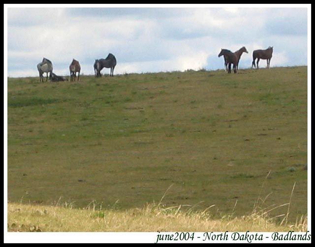 Zdjęcia: dzikie stado mustangow  - badlands, Dakota Polnocna, Badlands - Park Narodowy - North Dakota - mustangi, USA
