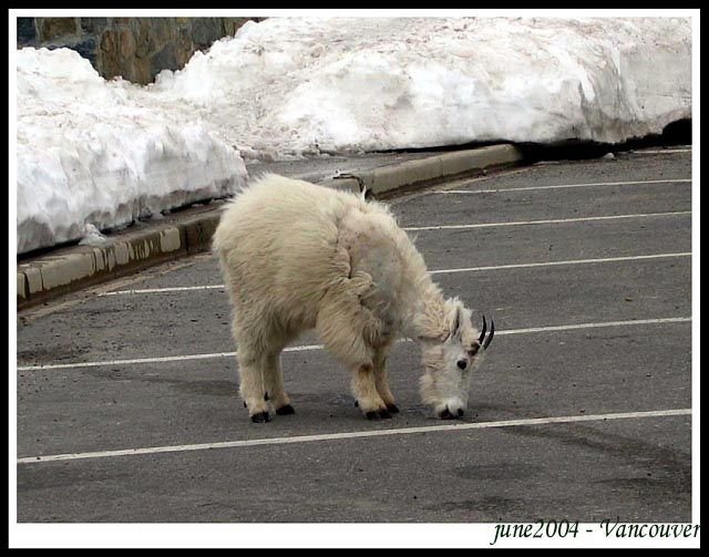 Zdjęcia: Lodowiec - Glasier national park, Glasier national park, Plochliwa kozica gorska, USA