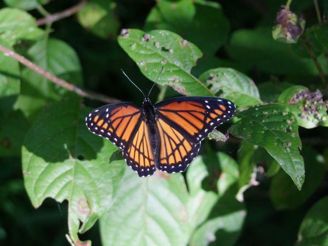 Zdjęcia: Missouri, Monarch, USA
