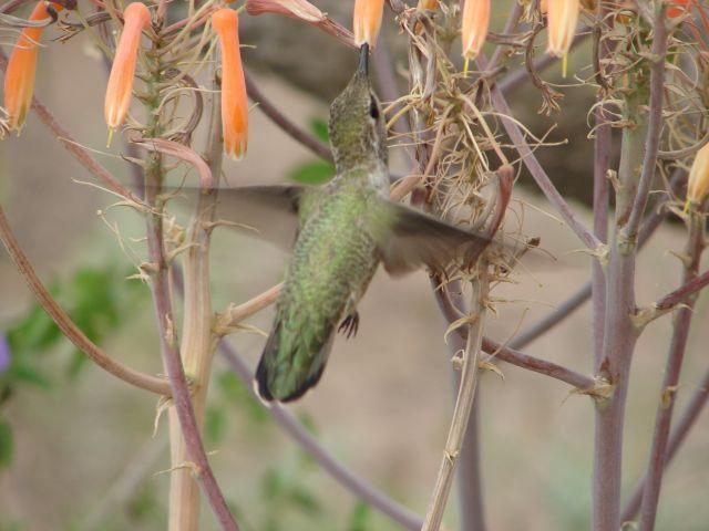 Zdjęcia: Phoenix, Arizona, Koliber, USA