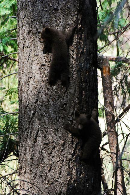 Zdjęcia: Yosemite N.P., Kalifornia, MALE NIEDZWIEDZIE, USA