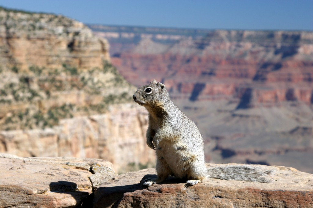 Zdjęcia: Grand Canyon, Utah, Wiewiór nad Grand Canyon'em, USA