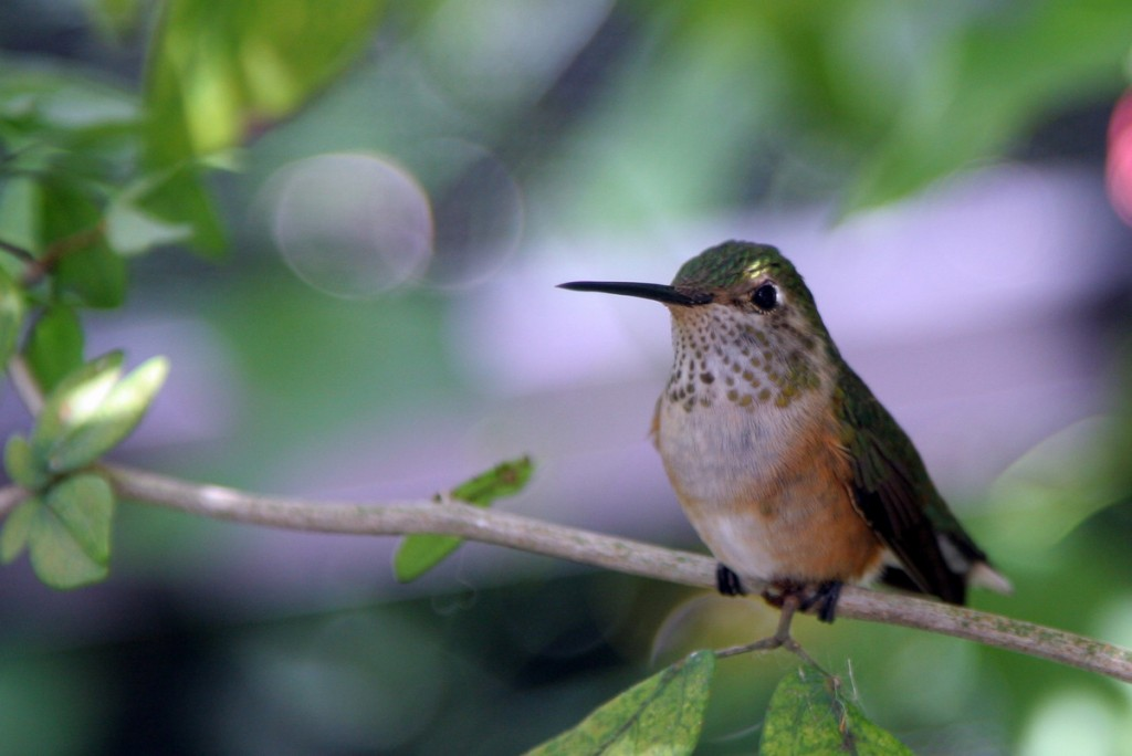 Zdjęcia: Floryda, Floryda, Koliber, USA