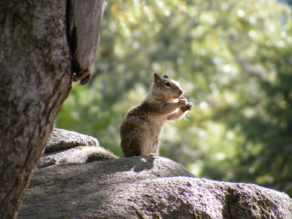 Zdjęcia: Yosemite, Kalifornia, Wiewiórka, USA