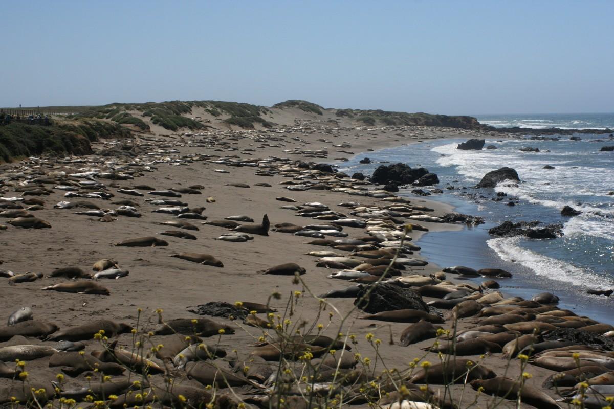 Zdjęcia: Plaża, Kalifornia, FOKI, USA