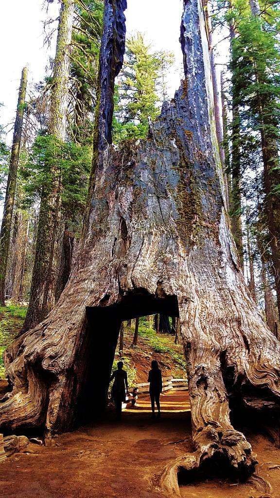 Zdjęcia: Tuolumne Grove Trailhead, Yosemite National Park, Martwy olbrzym, USA