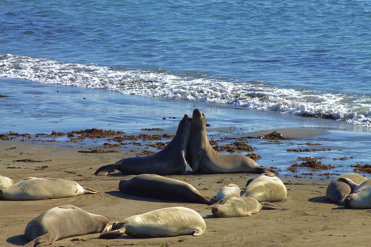 Zdjęcia: Wybrzeże californijskie, California, Foki na plaży, USA