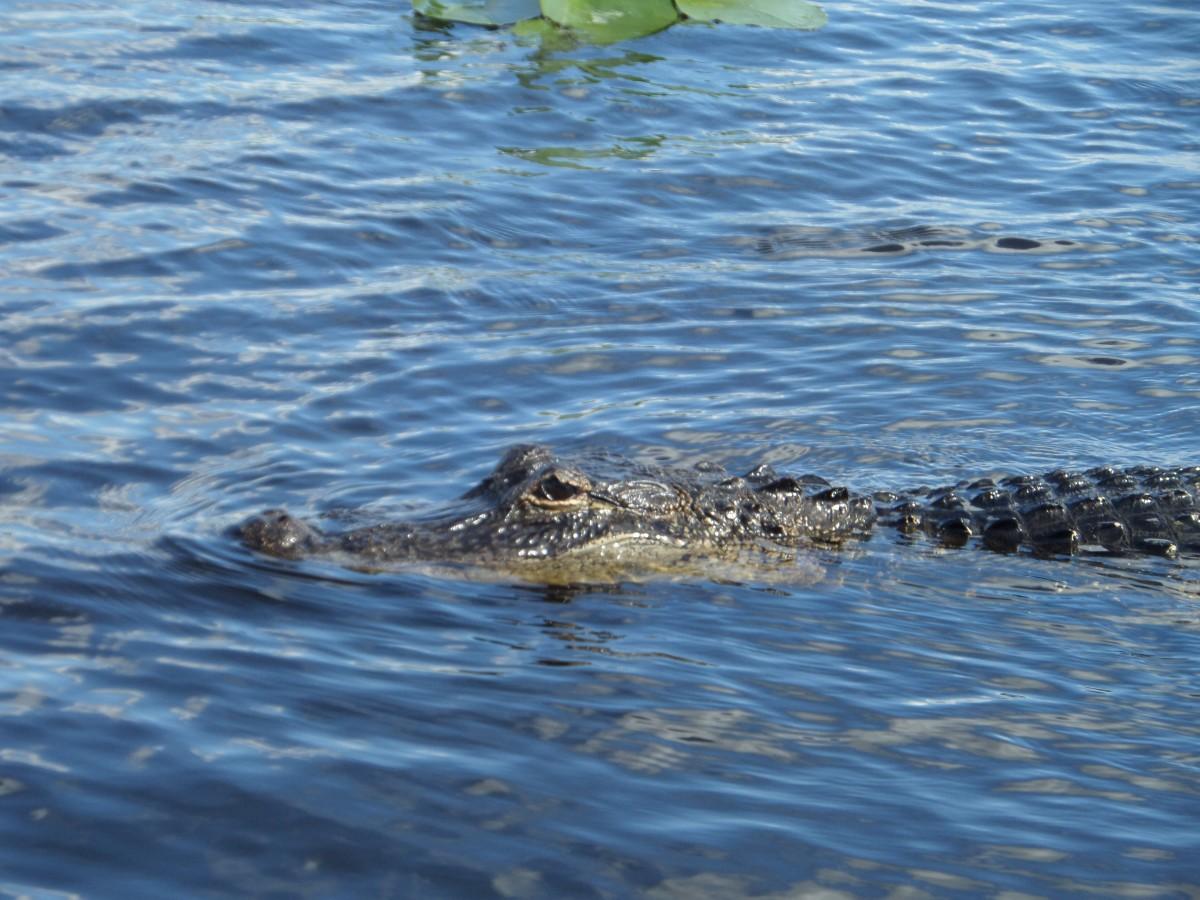Zdjęcia: Everglades (UNESCO), Floryda, Aligator z USA, USA