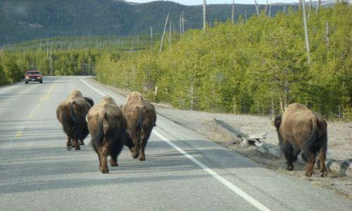 Zdjecie USA / Wyoming / Yellowstone NP / Bizony sa u siebie,turysta to intruz