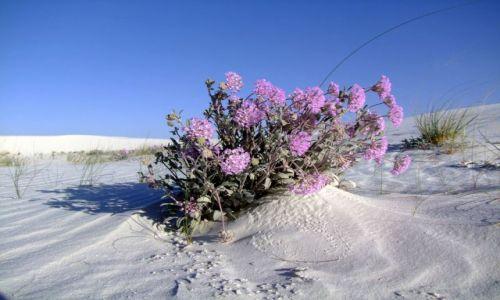 Zdjecie USA / - / Nowy Meksyk / White Sands / pustynne kwiatki