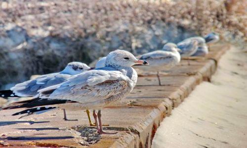 Zdjęcie USA / Floryda / St Augustine / Mewy na plaży w St Augustine