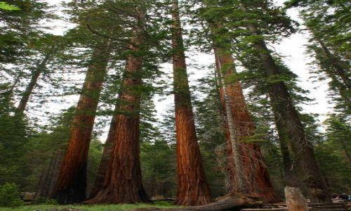 Zdjęcie USA / California / Yosimite / Giant Redwoods
