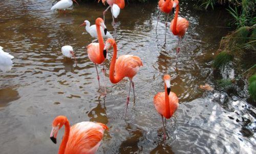 Zdjęcie USA / Florida / Everglades / Flamingi