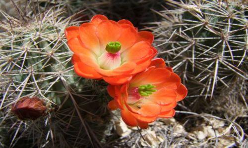 Zdjecie USA / - / Texas / Pustynia Chihuahuan / kaktus