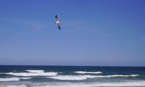 Zdjecie USA / North Carolina / Outer Banks - Kill Devils Hill / samotna, biała mewa...