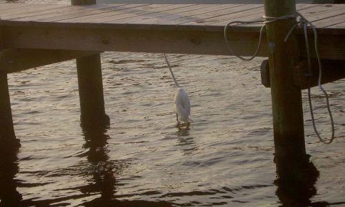 Zdjecie USA / North Carolina / Outer Banks - Ocracoke Island / zagadka - co to za ptak?
