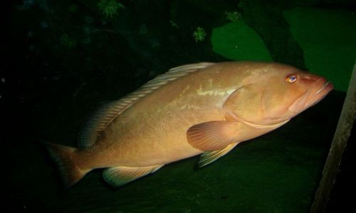 Zdjecie USA / North Carolina / Outer Banks - Emerald Island / ryba o niebieskich oczach