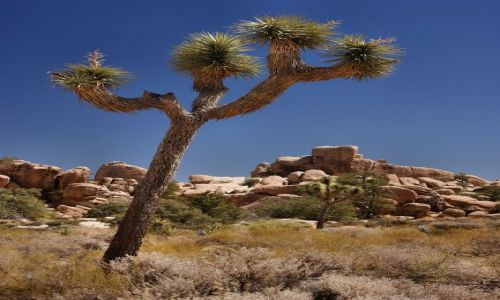 USA / California / Joshua Tree NP / Joshua Tree