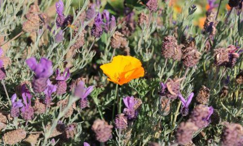 Zdjecie USA / California / Highway 1 / Yellow in a sea of purple