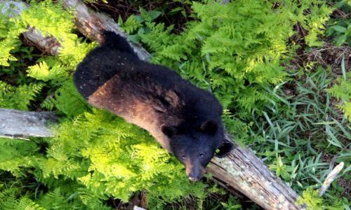 Zdjecie USA / - / Tennesse / North Carolina / Great Smoky Mountains / baribal
