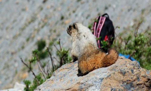 Zdjęcie USA / Montana / Glacier N:P / świstak na wakacjach