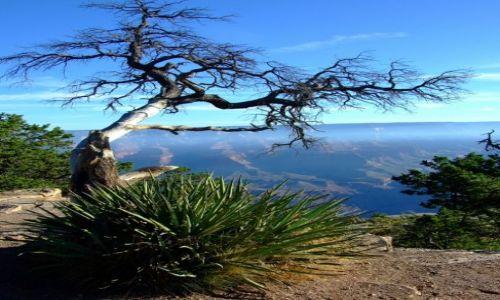 Zdjecie USA / Arizona / Wielki Kanion Kolorado / drzewo