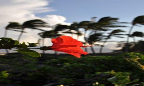 Zdjecie USA / Hawaje / Big Island / Hibiskus na tle palm