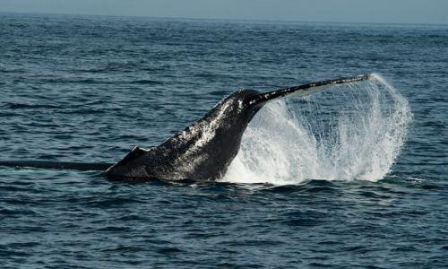 Zdjecie USA / Maine / Acadia NP / wieloryb
